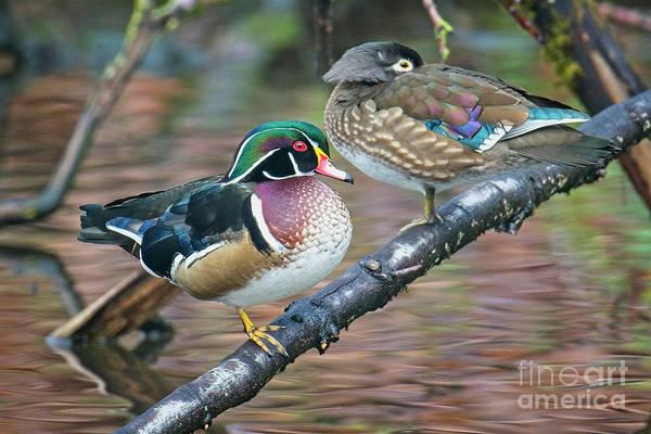 Kodachrome Ducks Poster