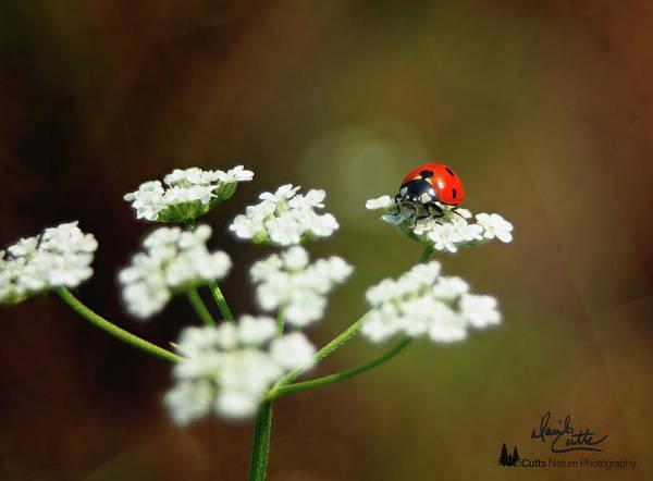Ladybug In White Poster