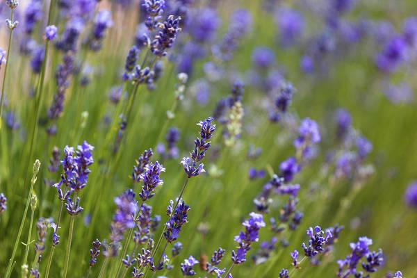 Lavendel  Poster