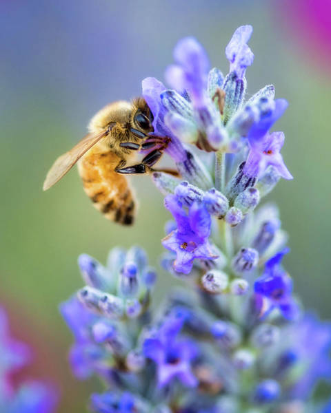 Poster featuring the photograph Lavender Bee by Nicole Young