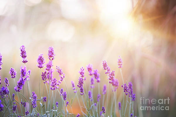 Lavender Bushes Closeup On Sunset Poster