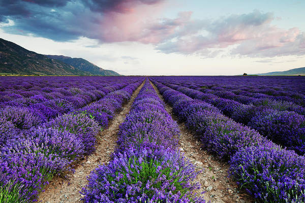 Poster featuring the photograph Lavender Field by Nicole Young