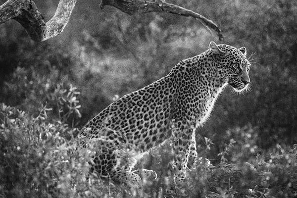 Leopard Sitting Black And White Poster