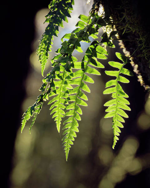 Poster featuring the photograph Licorice Fern by Whitney Goodey
