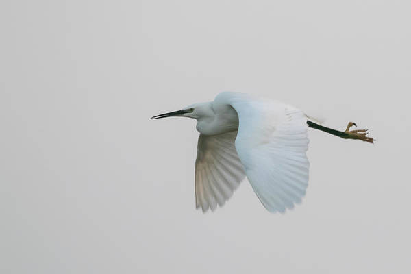 Little Egret Evening Flght Poster