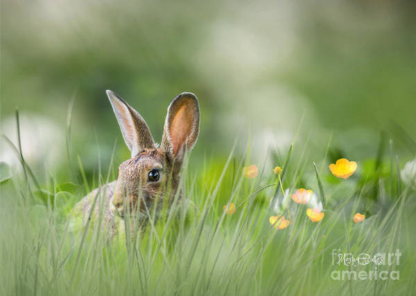 Little Hare Poster