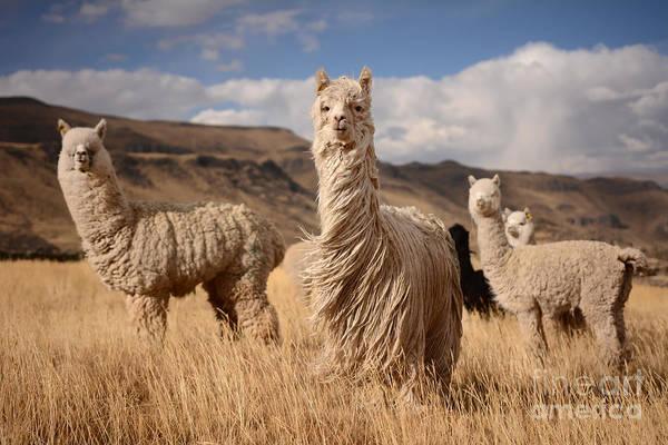Llamas Alpaca In Andes Mountains, Peru Poster