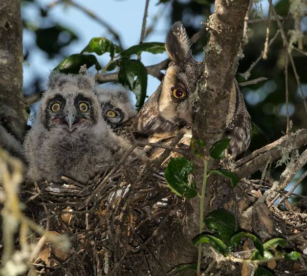 Long-eared Owl And Owlets Poster