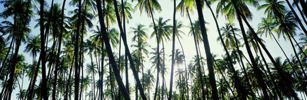 Low Angle View Of Coconut Palm Trees Poster