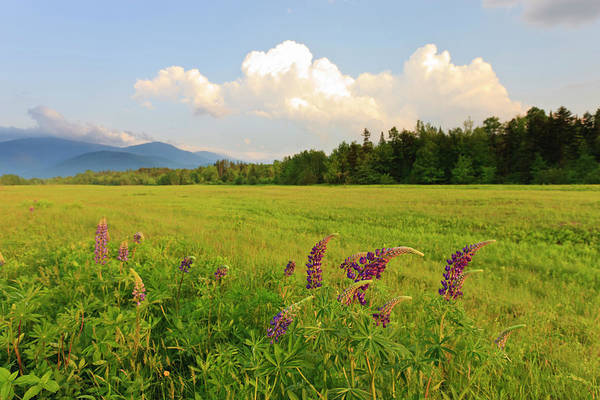 Lupine Lupinus In The White Mountains Poster