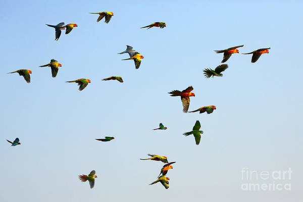 Macaw And Sun Conure Flock Of Flying In Poster
