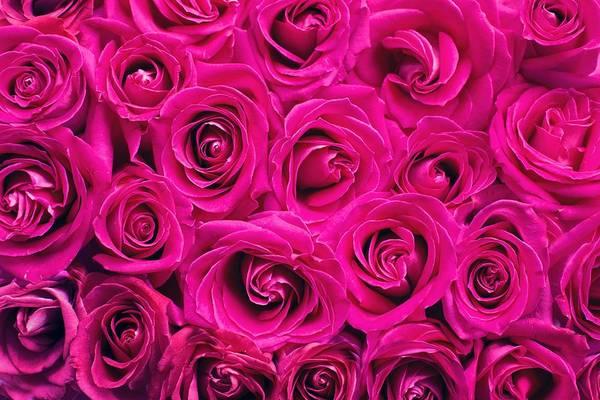 Magenta Roses Poster