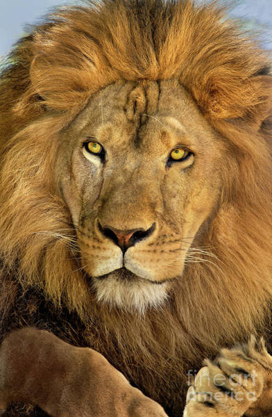 Male African Lion Portrait Wildlife Rescue Poster