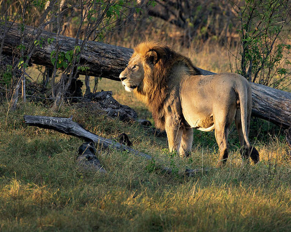 Male Lion In Botswana Poster