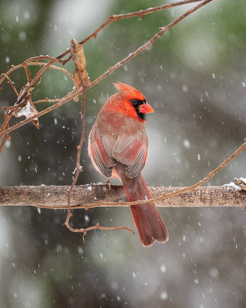 Male Red Cardinal Snowstorm Poster
