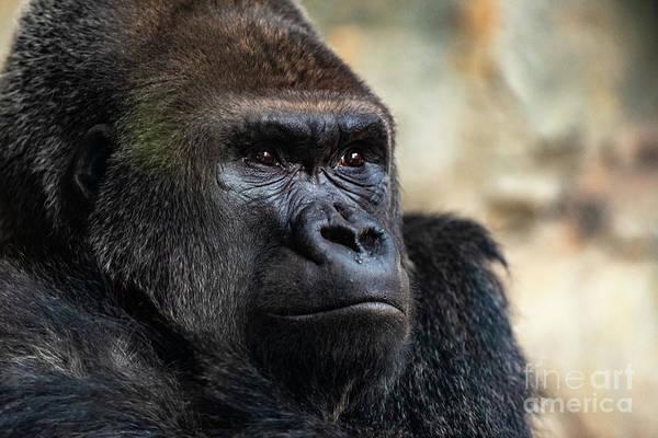 Male Western Gorilla Looking Around, Gorilla Gorilla Gorilla Poster