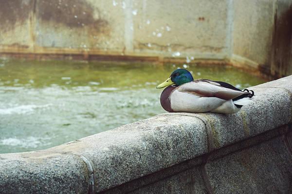 Mallard Resting On The Fountain Of The Fallen Angel In The Retiro Park - Madrid, Spain Poster