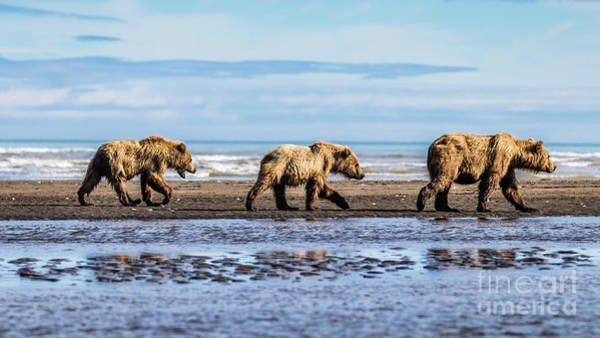 Mama Bear And Her Two Cubs On The Beach. Poster