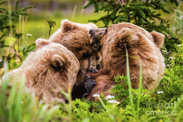 Mama Bear Nursing Her Two Cubs, Lake Clark National Park, Alaska Poster