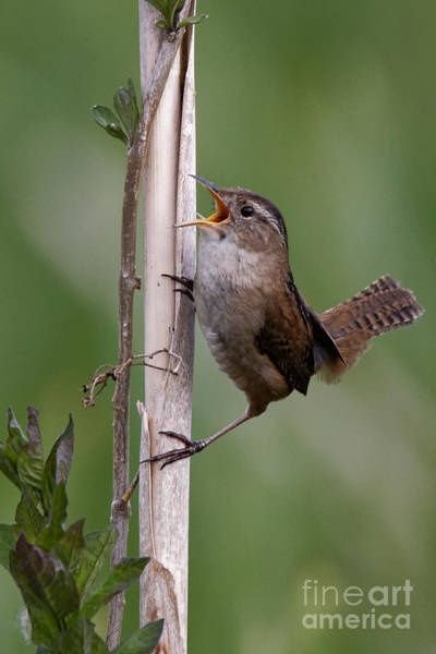 Marsh Wren In The Green Poster