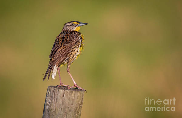 Poster featuring the photograph Meadowlark On Post by Tom Claud