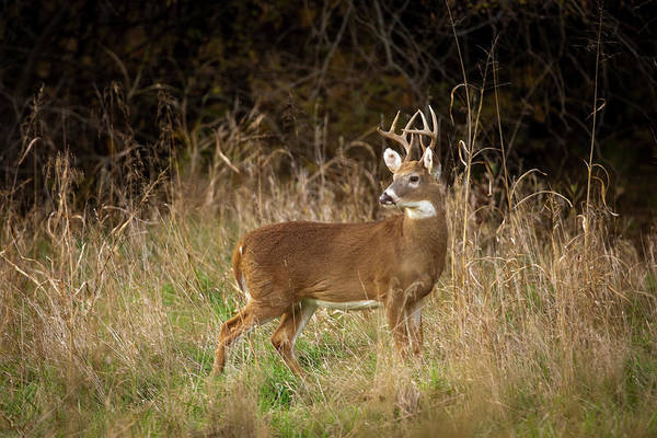 Poster featuring the photograph Mission Whitetail Buck  by Jeff Phillippi