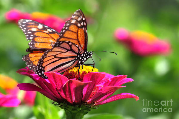 Monarch Visiting Zinnia Poster