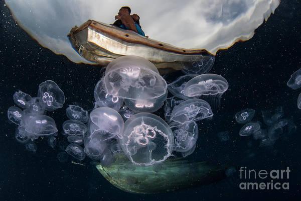 Moon Jellyfish Aurelia Aurita Aggregate Poster