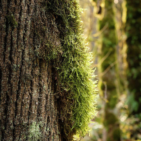 Poster featuring the photograph Moss On Bark by Whitney Goodey