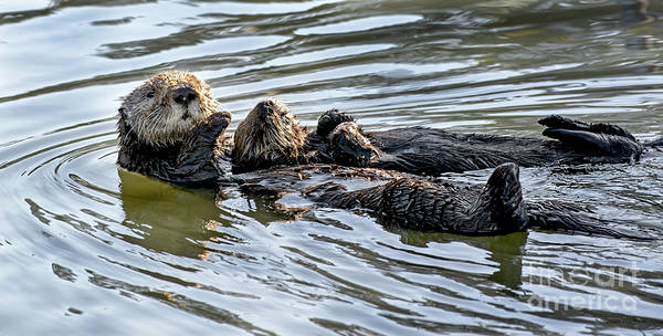 Mother Sea Otter Relaxing With Baby Poster