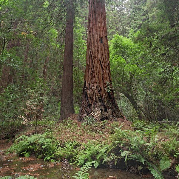 Muir Woods California Enchantment Poster