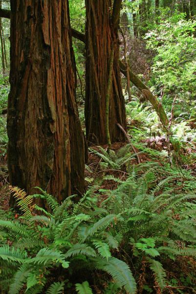 Muir Woods, Marin Headlands, California Poster