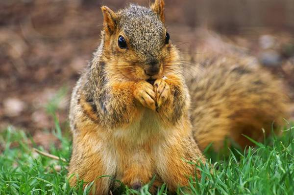Munching Cute Fox Squirrel Poster