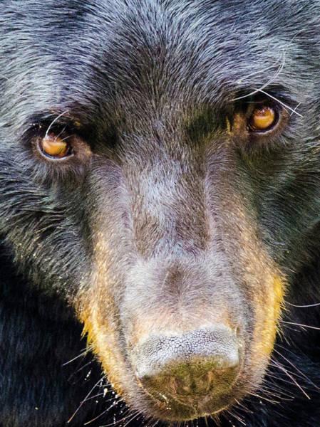 Nosy Bear Poster