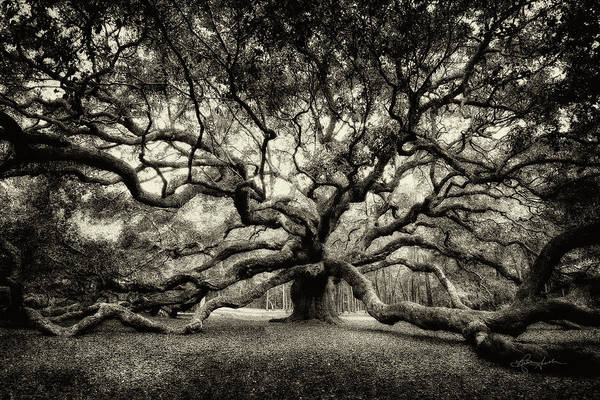 Oak Of The Angels - Sepia Poster