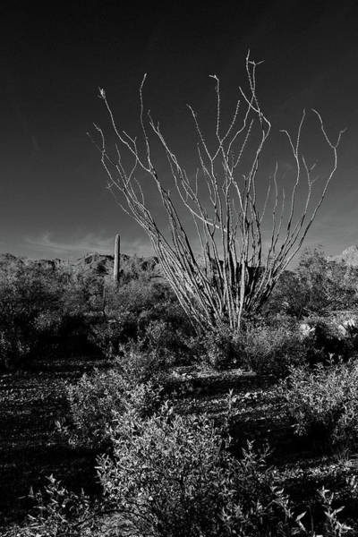 Poster featuring the photograph Ocotillo Black And White by Chance Kafka