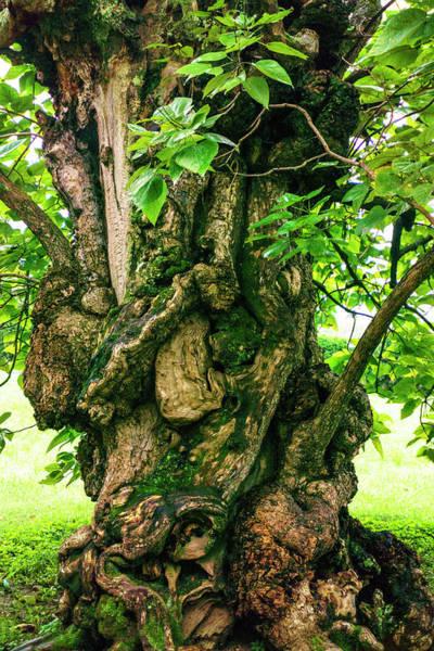 Old Catalpa Tree _ Chatham_3893_18 Poster