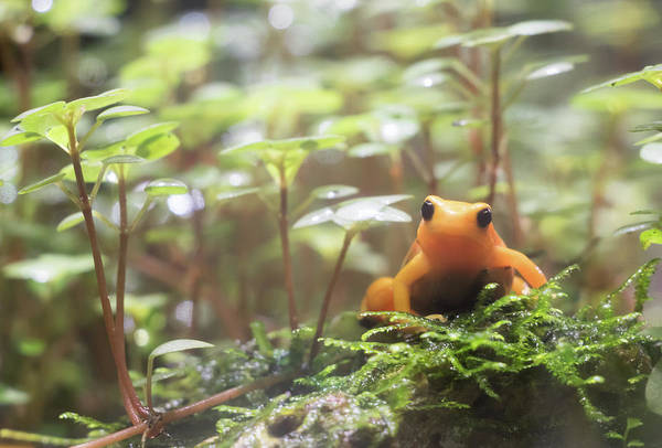 Poster featuring the photograph Orange Frog. by Anjo Ten Kate