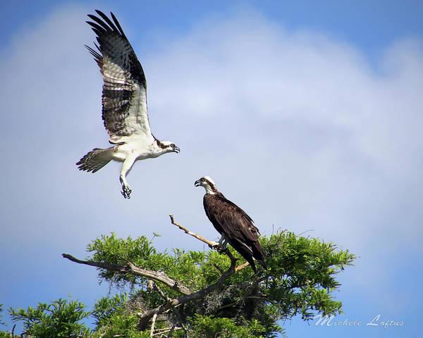 Ospreys At Blue Cypress Lake Poster