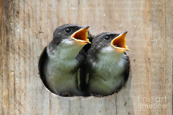 Pair Of Hungry Baby Tree Swallows Poster