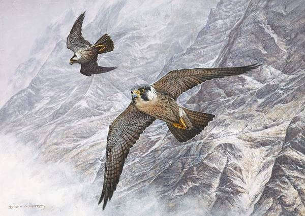 Pair Of Peregrine Falcons In Flight Poster