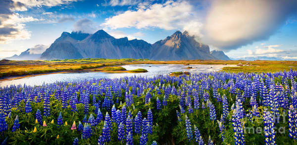 Panorama Of Blooming Lupine Flowers On Poster