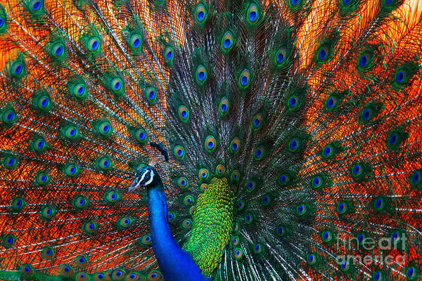 Peacock Showing Feathers On The Bright Poster