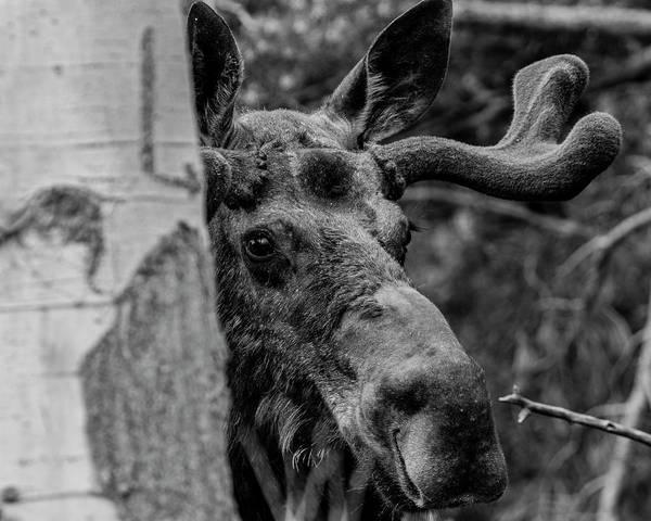 Peek-a-moose Poster