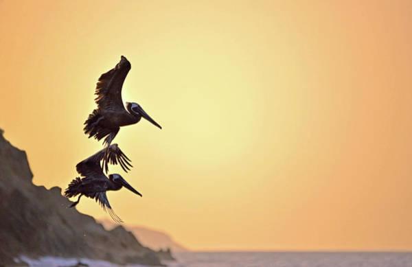Pelican Down Poster