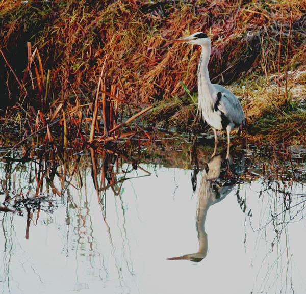 Pensive Heron Poster