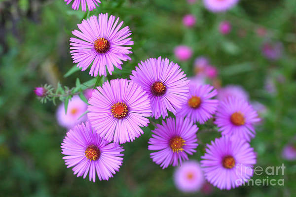 Pink Aster Flowers In Autumn Poster