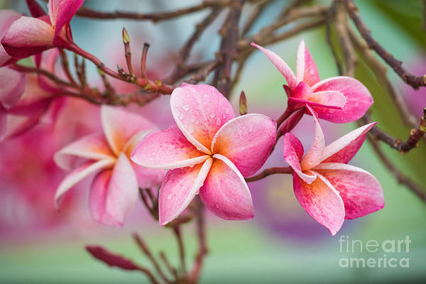 Pink Color Frangipani Flower Beauty Poster