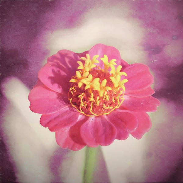 Pink Zinnia Isolated Poster