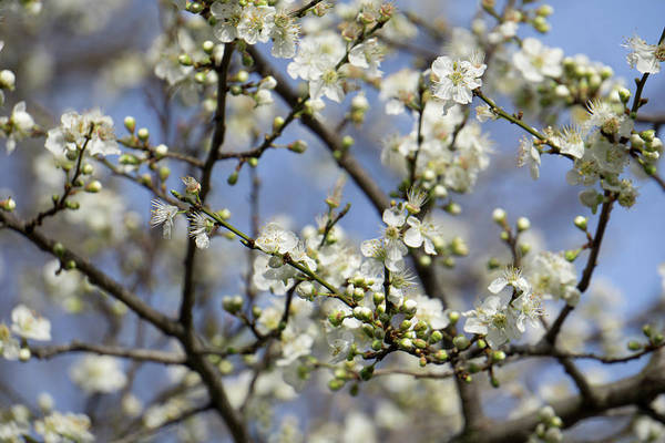 Plum Blossoms - 19 4915 Poster